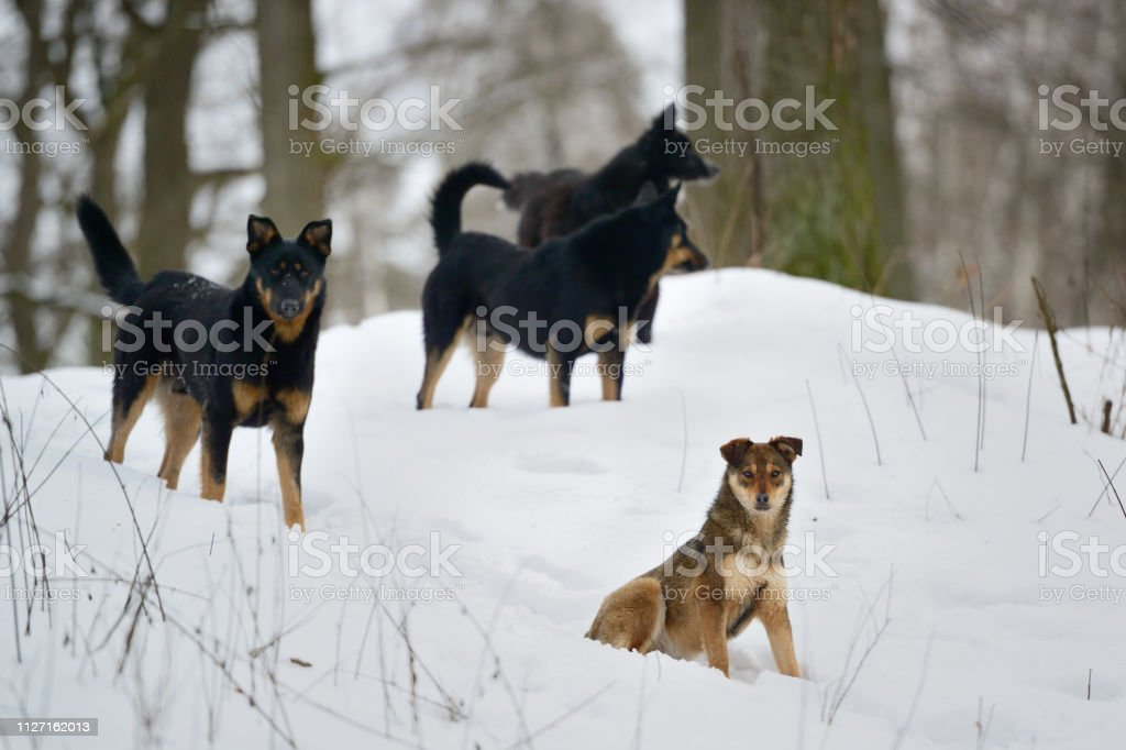 Pack of wild dogs in winter forest. Animal survival in winter time