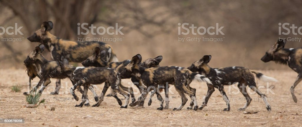 Pack of wild dogs (Lycaon pictus) on the move stock photo