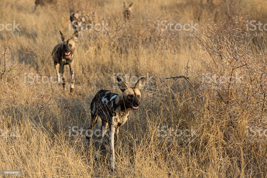 Pack of wild dogs stock photo