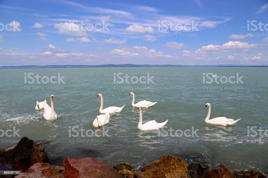 pack of wild swans on the Lake Balaton in Hungary royalty-free 스톡 사진