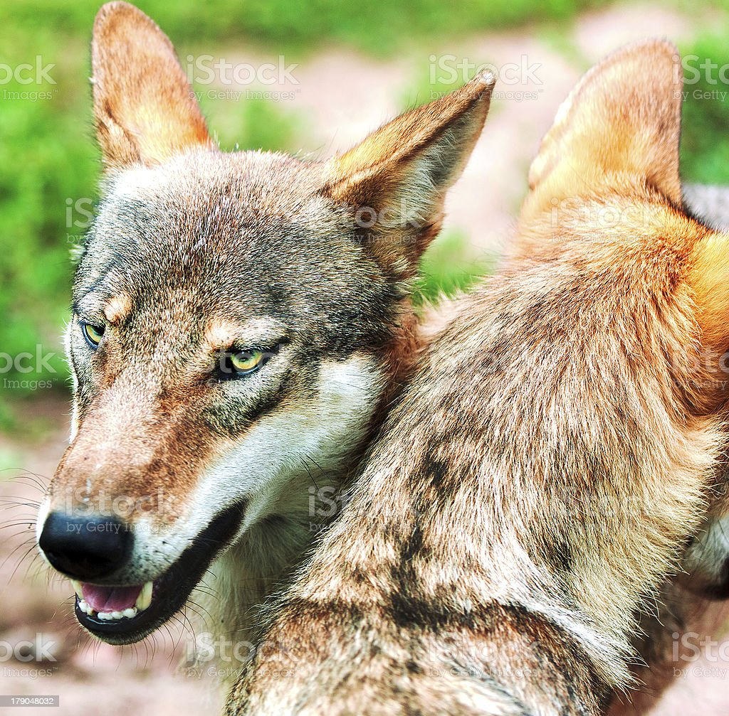 Pack of wolfs in the woods royalty-free stock photo