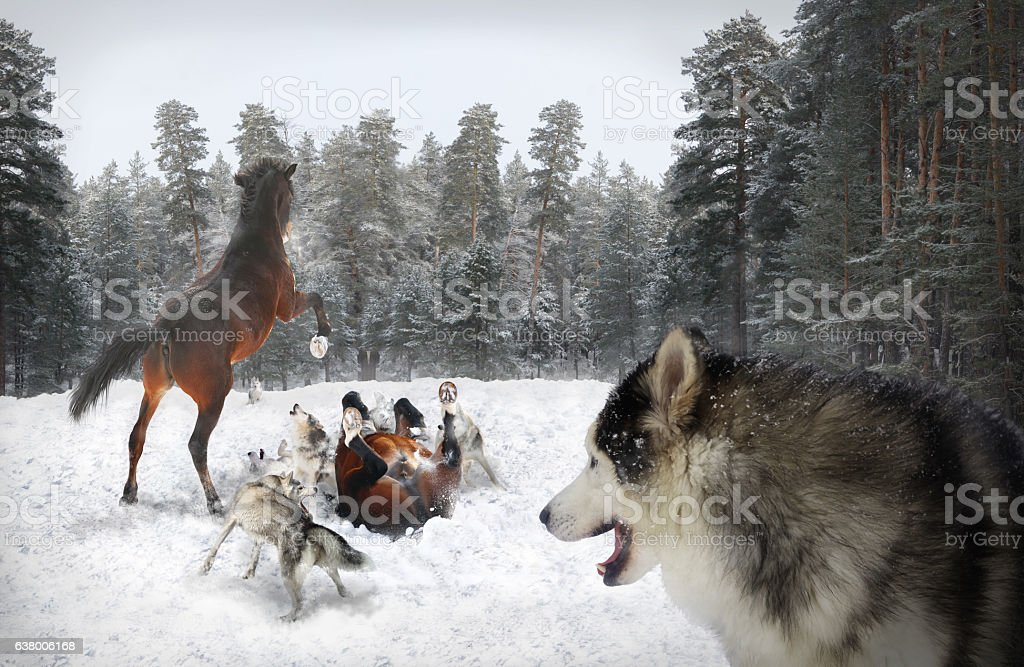 pack of wolves and horses stock photo