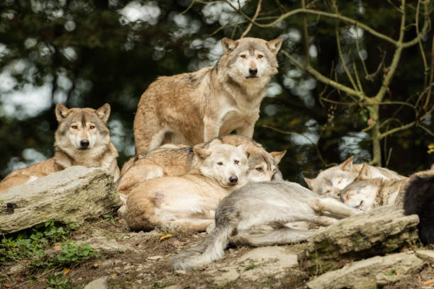 A pack of wolves on a rock stock photo