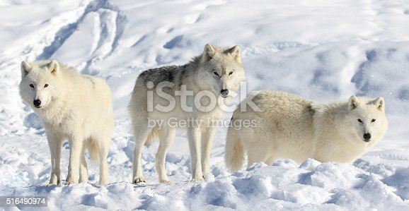 pack of arctic wolves in nature