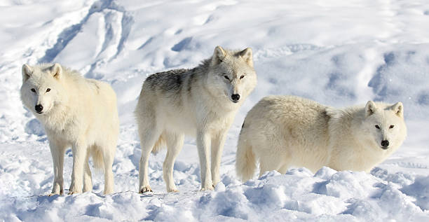 pack of wolves stock photo