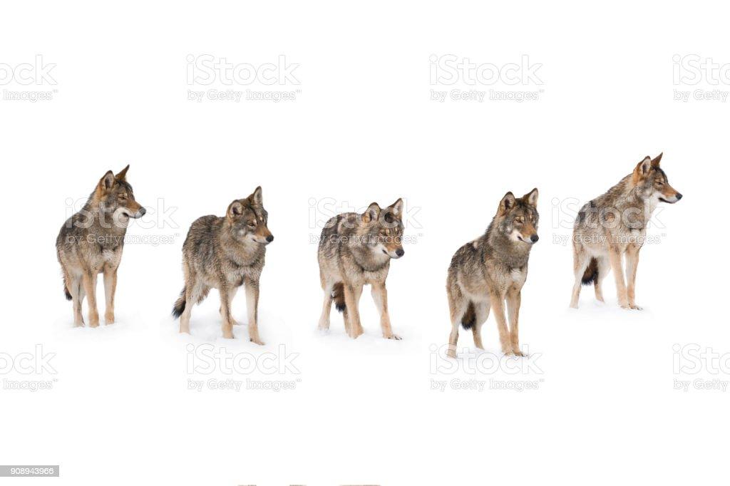 manada de lobos (canis lupus) foto de stock libre de derechos