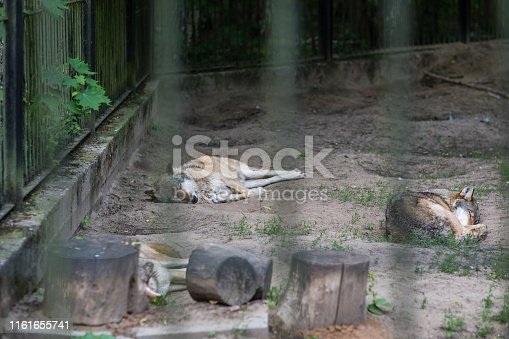 Pack of wolves sleeping in a zoo enclosure, Poland
