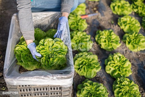 Woman packing lettuce in bin, elevated view