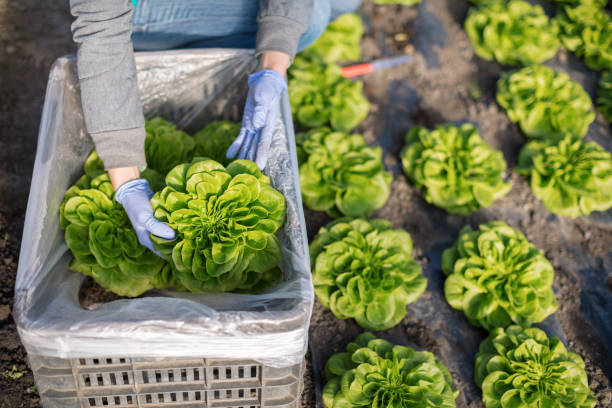 packing lettuce in bin - lettuce stock photos and pictures