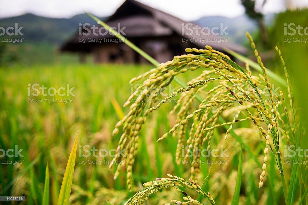 Paddies rice on terraced fields, Vietnam stock photo