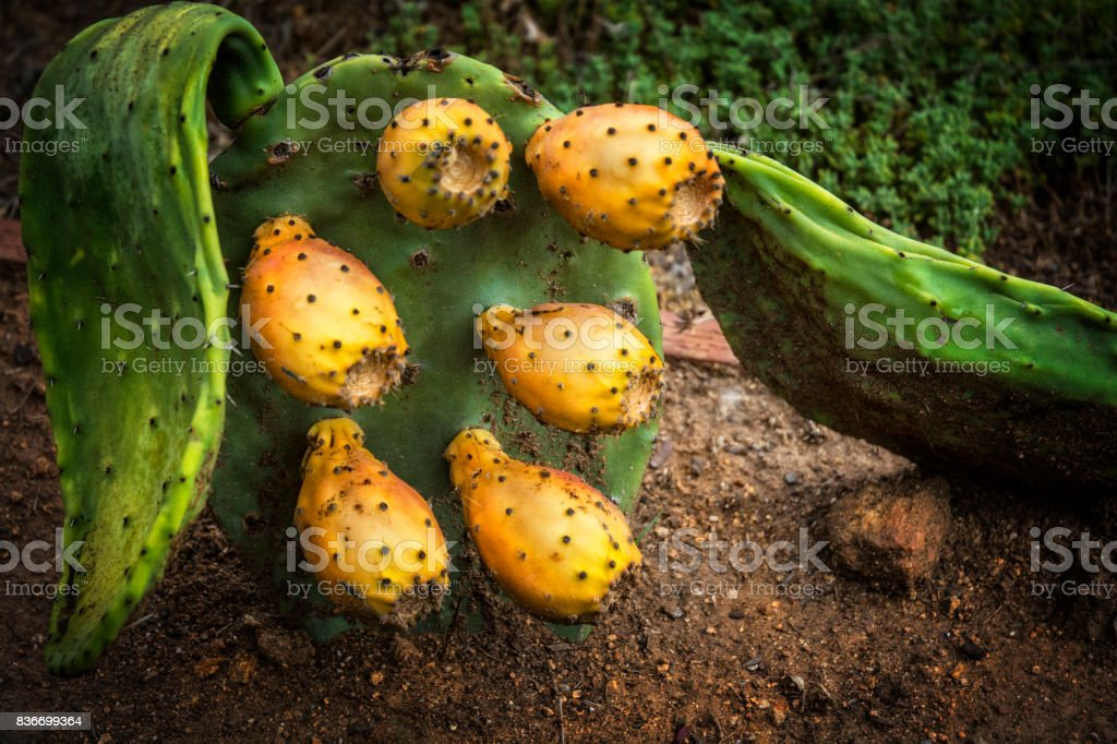 Paddle Cactus With Prickley Pear stock photo