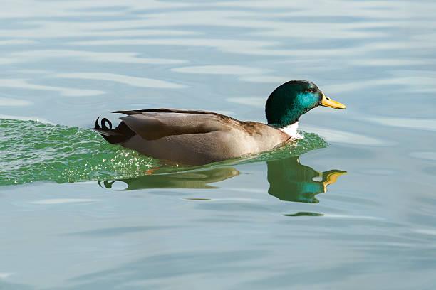 Pato de flotación - foto de stock