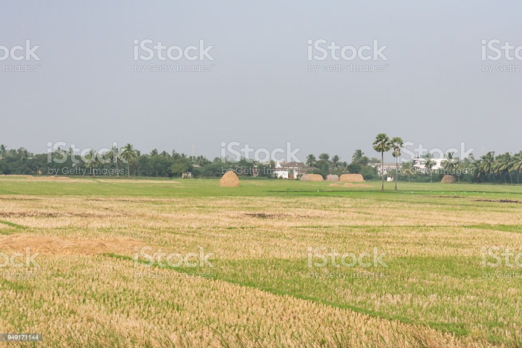 A paddy farm with paddy straw after cutting rice. stock photo