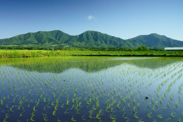 A paddy field and 3 peaks of Mt. Hiruzen in early summer A paddy field and 3 peaks of Mt. Hiruzen in early summer. The mountain is a famous sightseeing spot in Okayama, Japan. rice paddy stock pictures, royalty-free photos & images