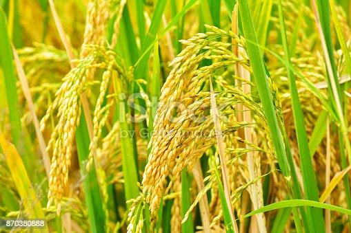 Paddy field closeup
