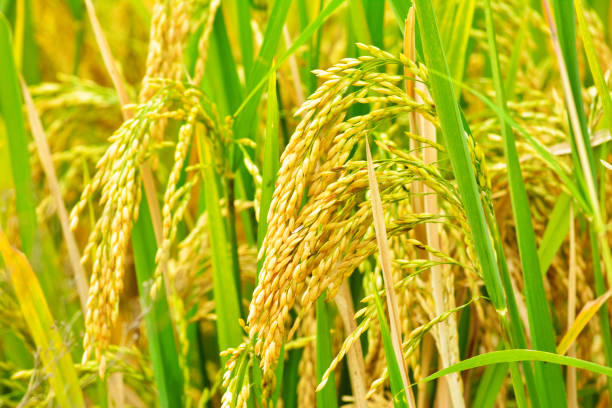 Paddy field closeup Paddy field closeup rice paddy stock pictures, royalty-free photos & images