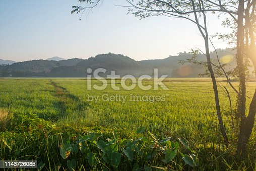 Paddy field during sunrise in Langkawi, Malaysia