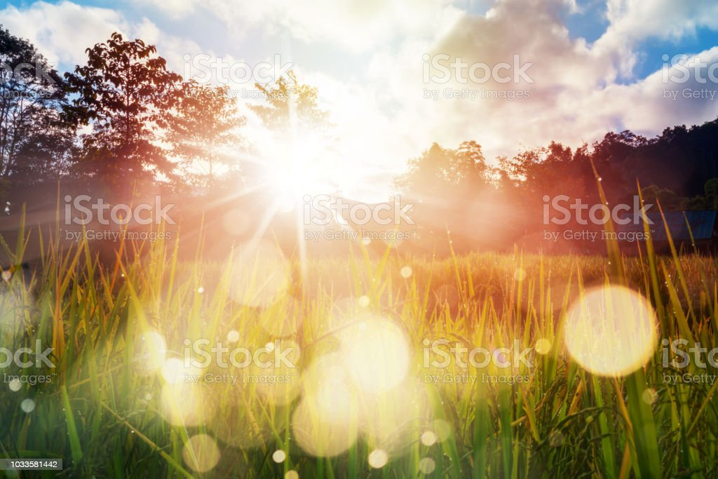 Arrozal agricultura ao nascer do sol - Foto de stock de Agricultura royalty-free