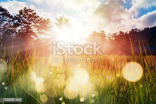 Sunrise and bokeh over paddy rice field. Paddy field farming at sunrise.