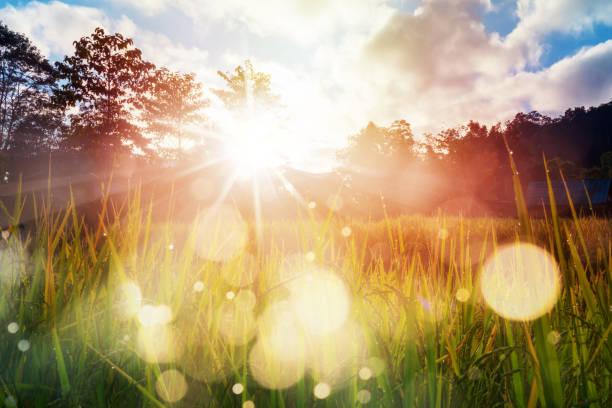 ryżowe rolnictwo polowe o wschodzie słońca - nadzieja zdjęcia i obrazy z banku zdjęć