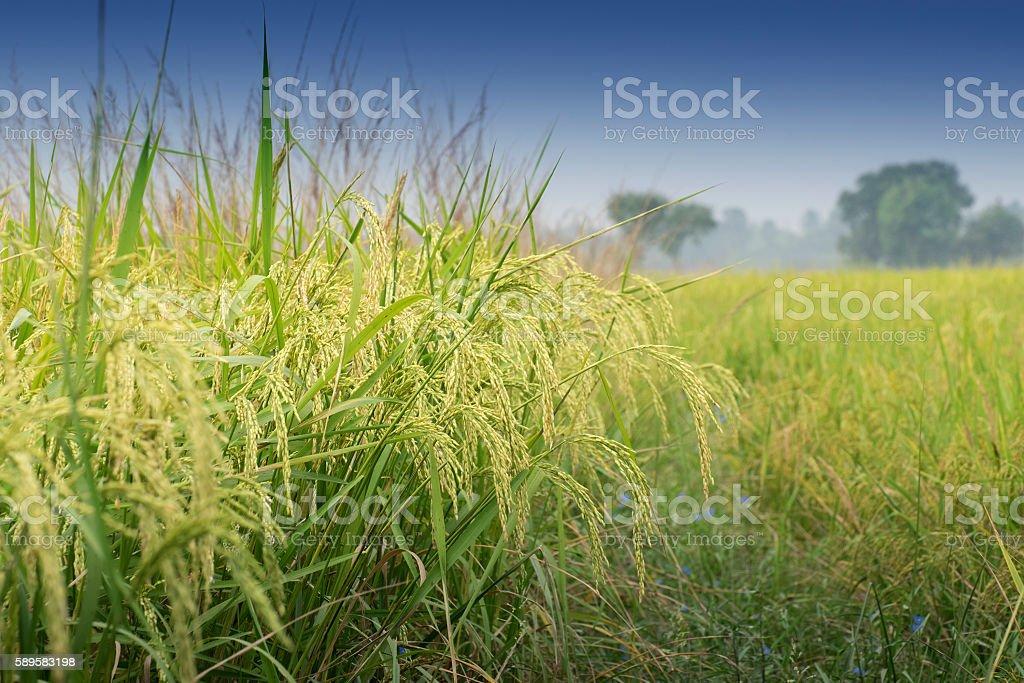 Reisfeld grün Landwirtschaft land, Indien – Foto