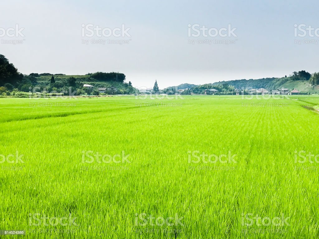Paddy Field in Summer (Inzai, Chiba, Japan) stock photo
