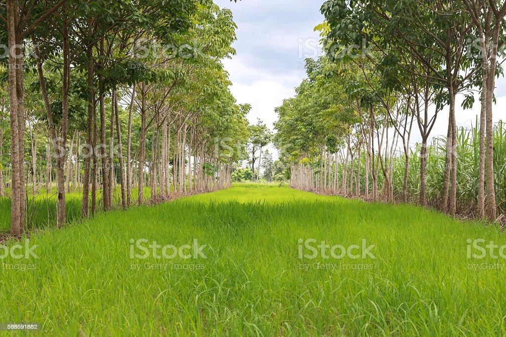 Paddy field interweaving hevea brasiliensis stock photo