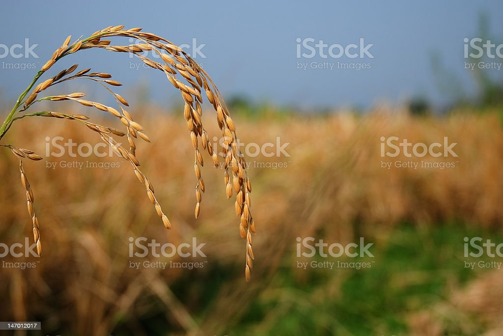 Paddy field royalty-free stock photo