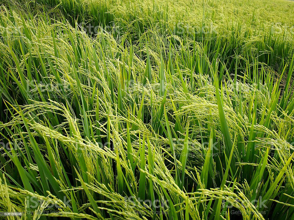 Paddy field – Foto