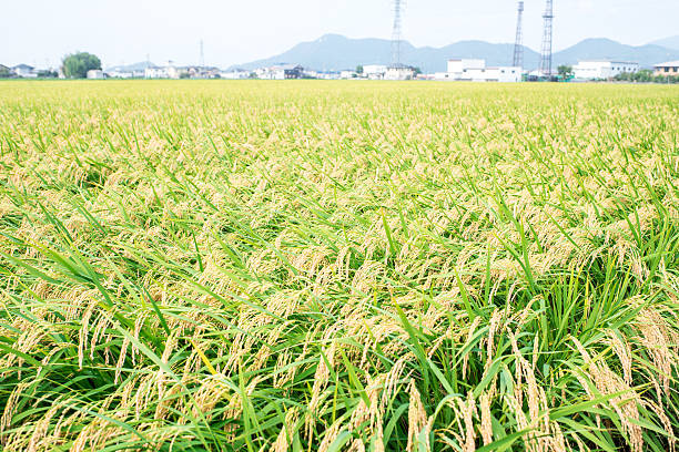 Paddy field Paddy field. satoyama scenery stock pictures, royalty-free photos & images