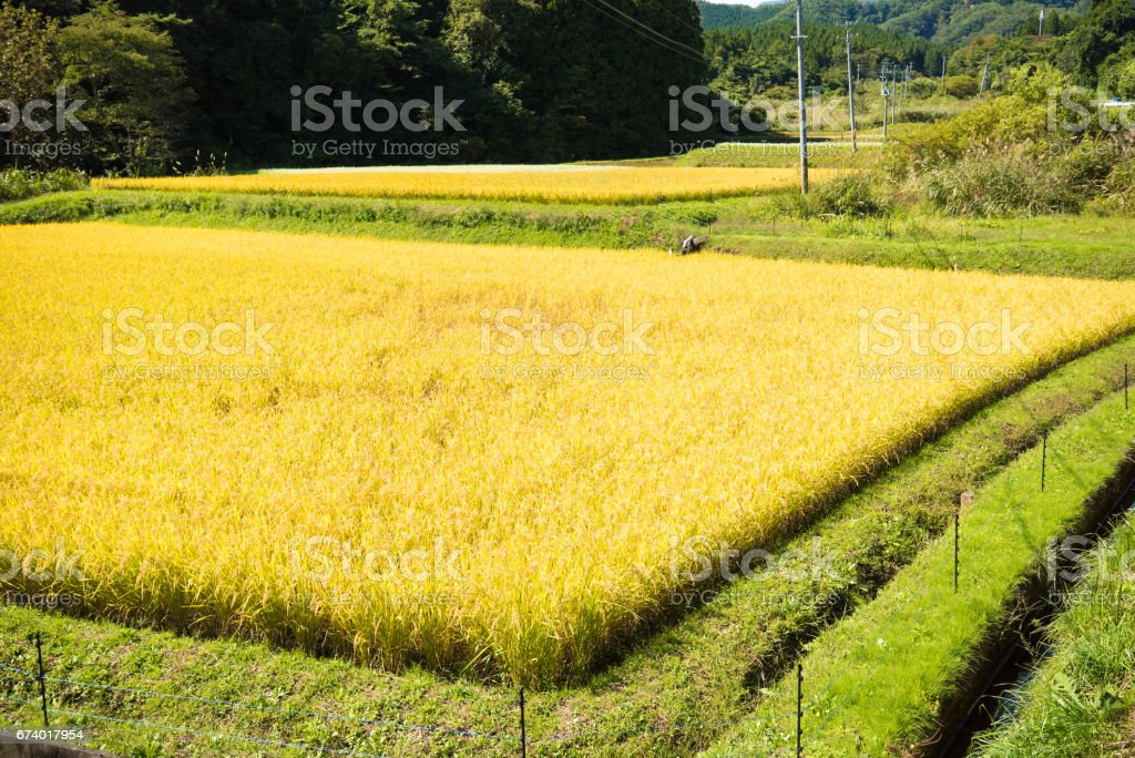 Paddy field royalty-free stock photo