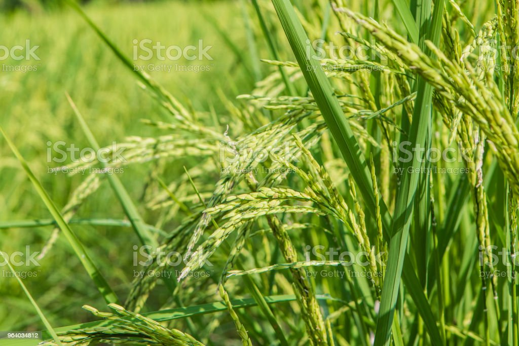 Paddy field - Royalty-free Agricultural Field Stock Photo