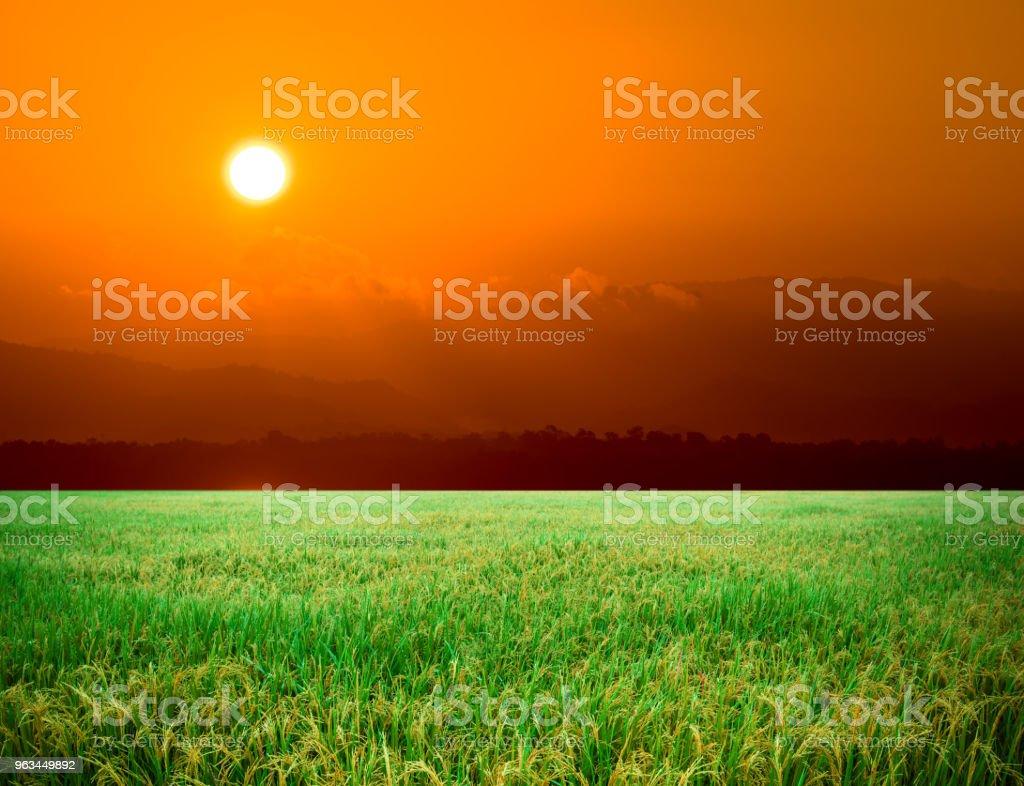 Paddy alan, Tayland pirinç çiftlik - Royalty-free Arka planlar Stok görsel