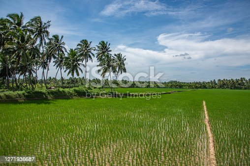 istock Paddy field with coconut trees, Kanyakumari, Tamil nadu. 1271936687