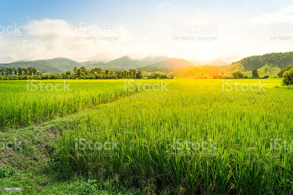 Paddy field with golden sunlight stock photo