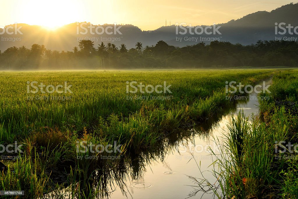 Paddy field with sun ray stock photo