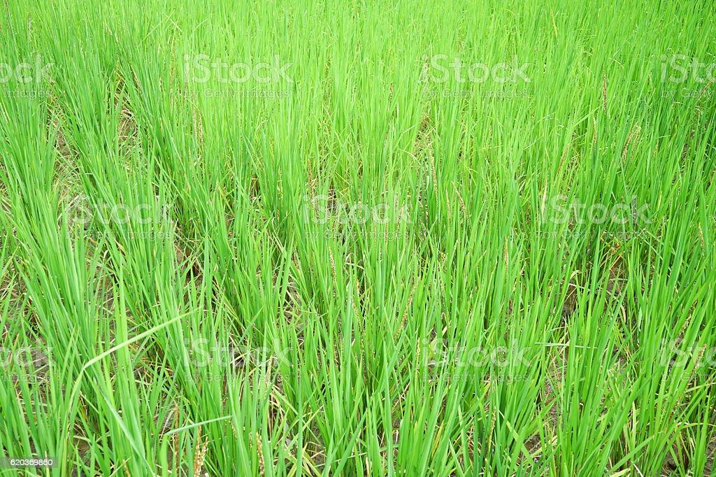 Paddy jasmine rice field. foto de stock royalty-free