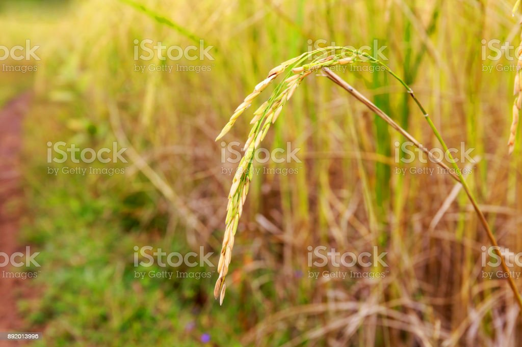 Paddy Rice Field Close Up with Rice Grain on Its Stalk stock photo