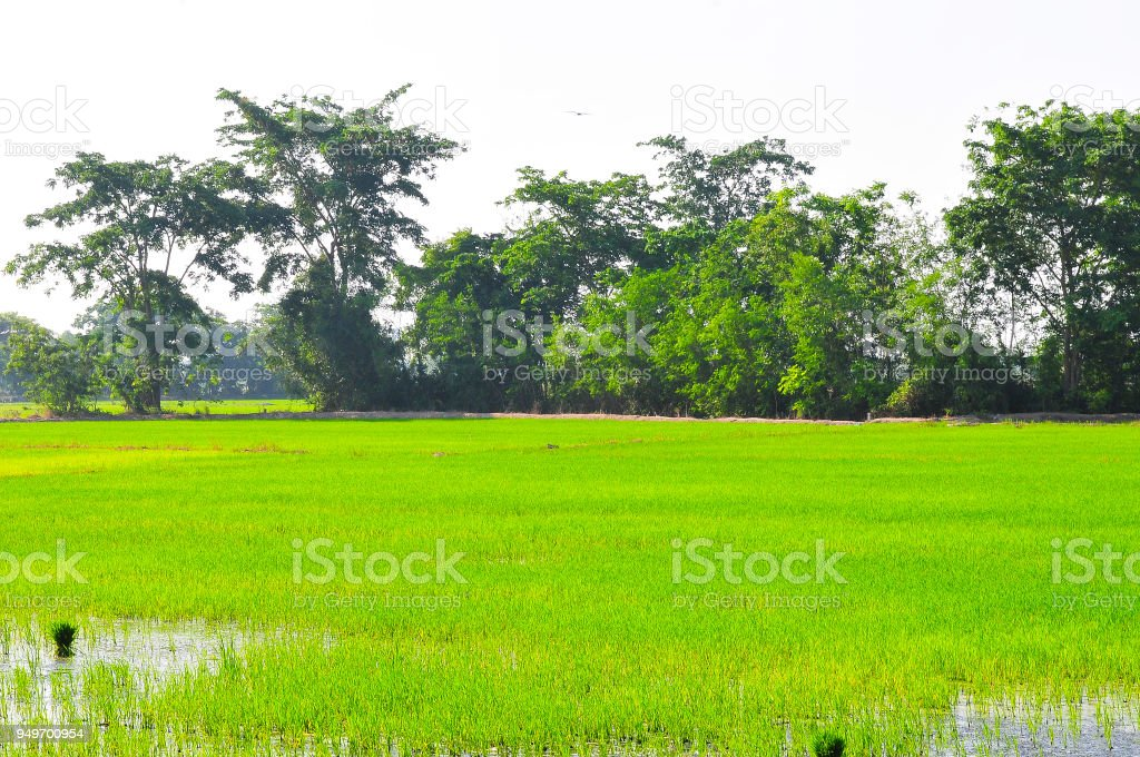 Paddy rice field green grass on green background in thailand stock photo