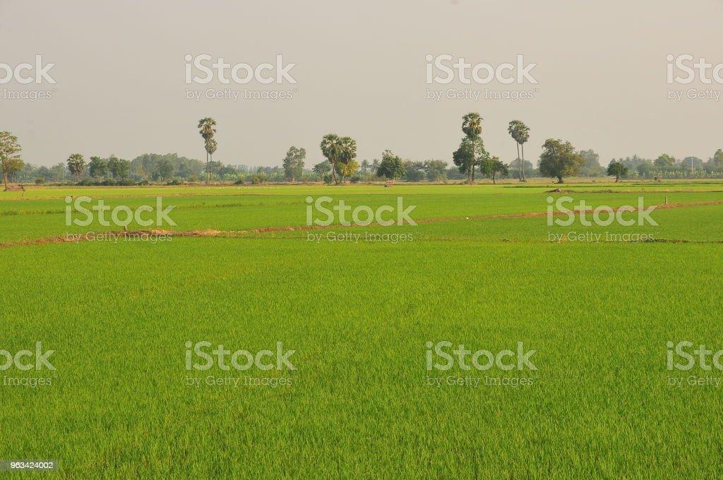 Paddy rice field green grass on green background in thailand - Zbiór zdjęć royalty-free (Azja)