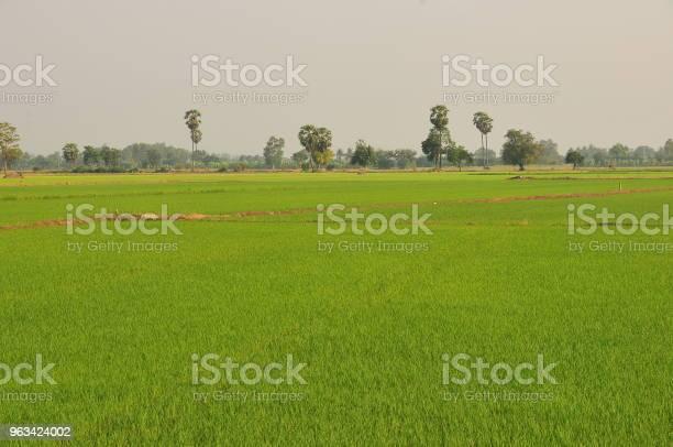 Niełuskane Pole Ryżowe Zielona Trawa Na Zielonym Tle W Tajlandii - zdjęcia stockowe i więcej obrazów Azja