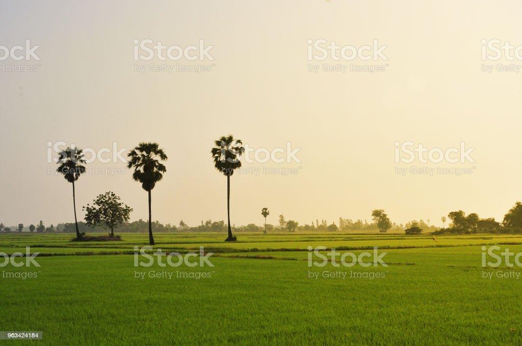 Paddy rice champ vert herbe sur fond vert en Thaïlande - Photo de Agriculture libre de droits