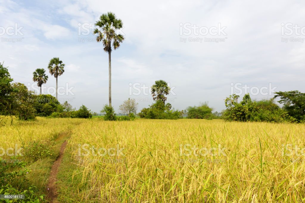 Paddy Rice Field Just Before Harvesting, Agriculture in Cambodia stock photo