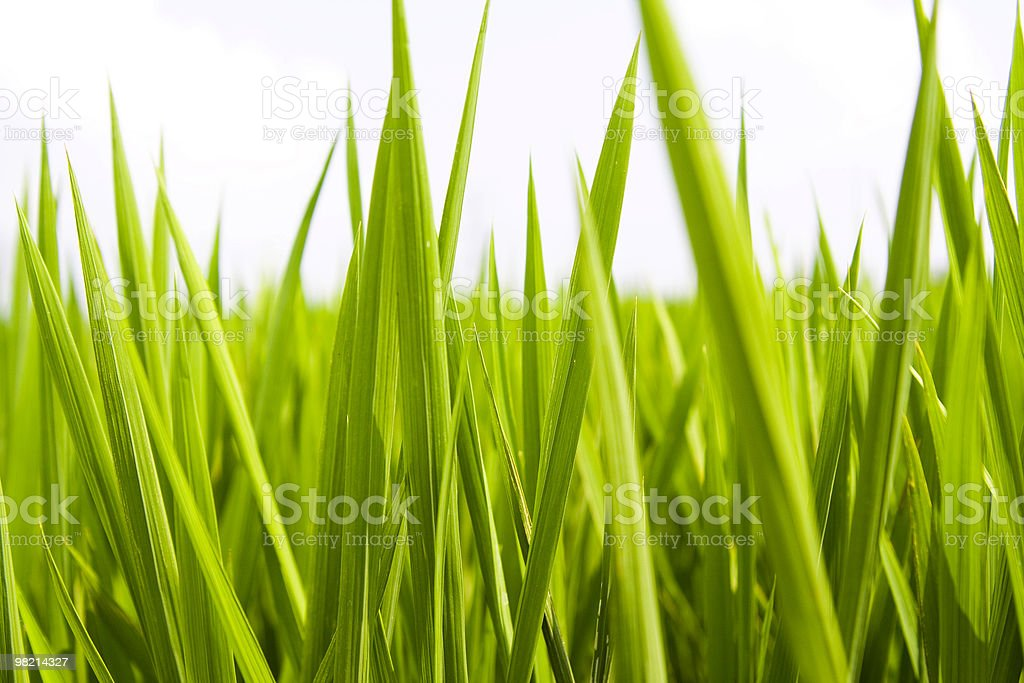 paddy rice royalty-free stock photo
