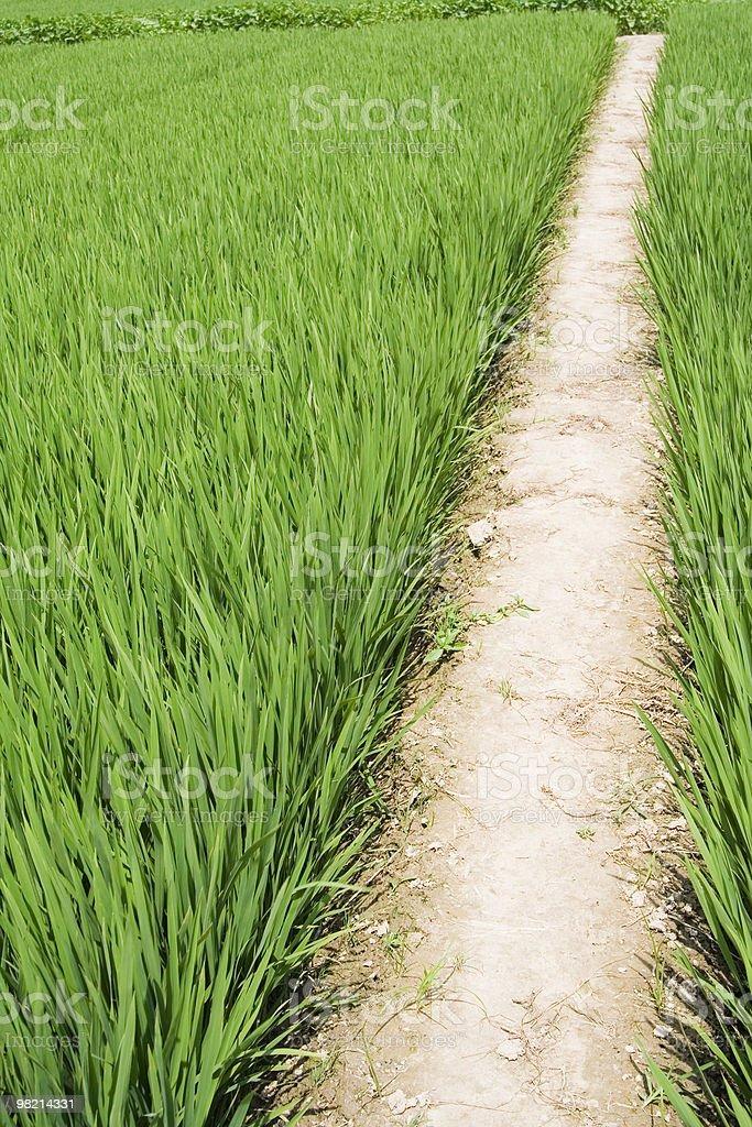 paddy rice royalty-free stock photo