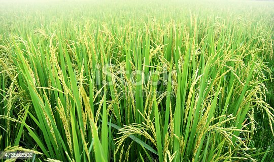 istock paddy rice plant in rice field , thailand 473552502