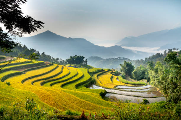 Paddy rice terraces with ripe yellow rice stock photo