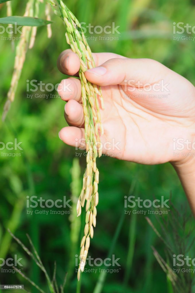 Paddy seeds holding by hand in field stock photo