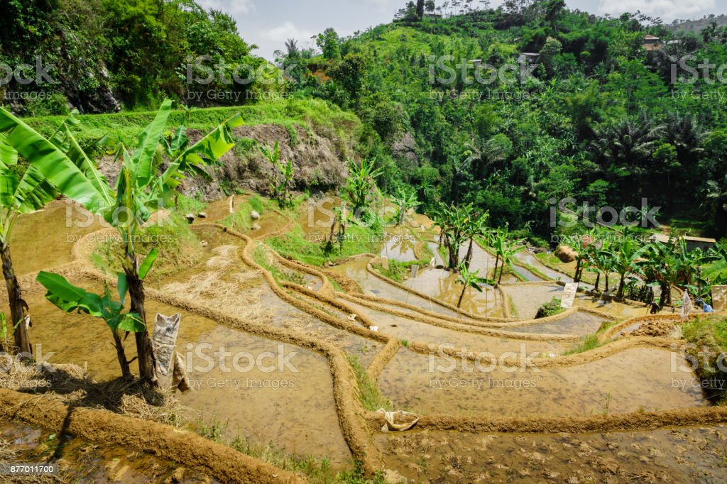 Paddy terrace fields in Java, Indonesia stock photo