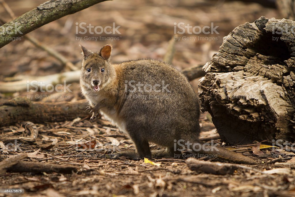 Pademelon stock photo